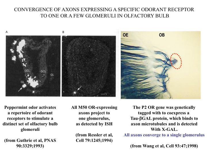 CONVERGENCE OF AXONS EXPRESSING A SPECIFIC ODORANT RECEPTOR