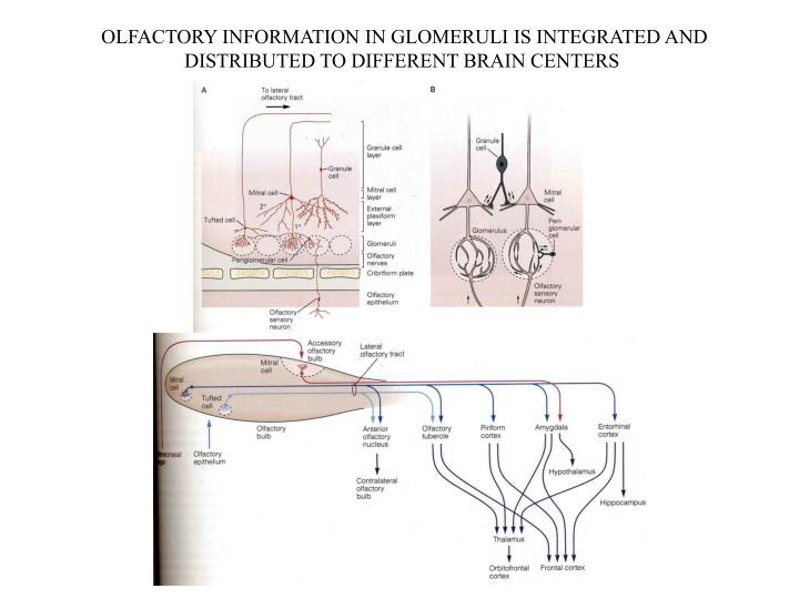 OLFACTORY INFORMATION IN GLOMERULI IS INTEGRATED AND
