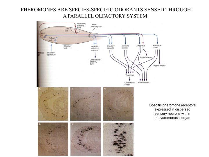 PHEROMONES ARE SPECIES-SPECIFIC ODORANTS SENSED THROUGH
