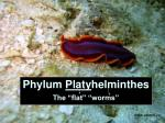 phylum platy helminthes the flat worms