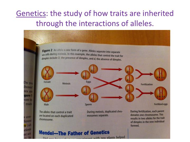 genetics the study of inheritance In previous studies, the ability to study the inheritance of dna methylation states relied on utilizing genetic variation, often snps, in sequenced data to assign regions to each parent, making it possible to compare dna methylation between parents and progeny as the ma lines used in this experiment.