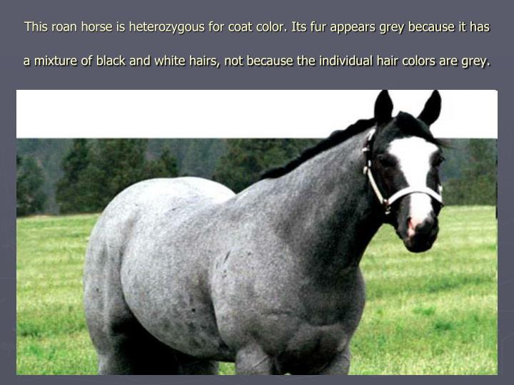 This roan horse is heterozygous for coat color. Its fur appears grey because it has a mixture of black and white hairs, not because the individual hair colors are grey.