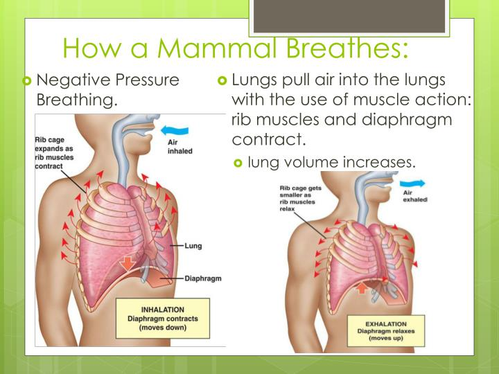 How a Mammal Breathes: