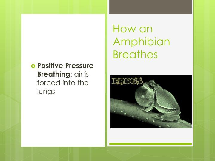 How an amphibian breathes