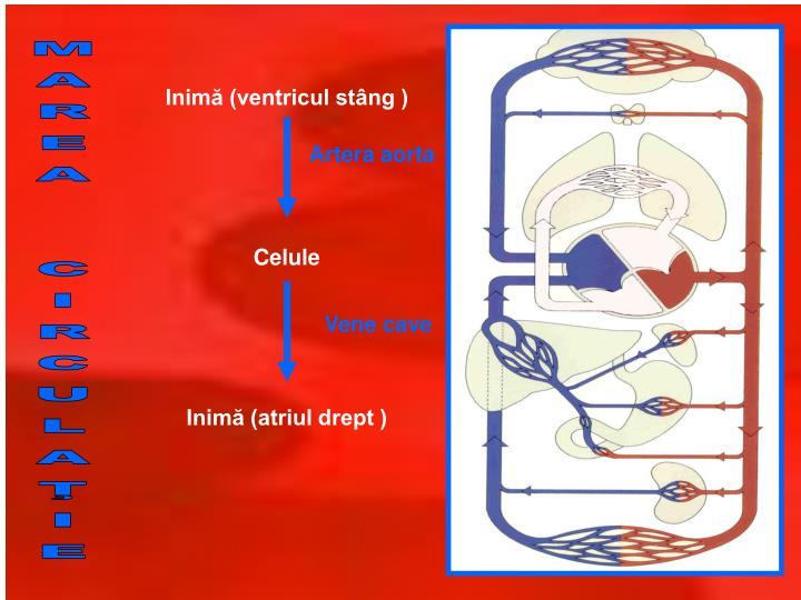 Inimă (ventricul stâng )