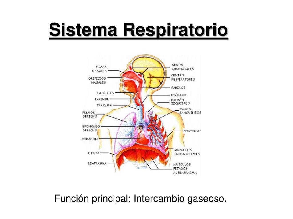 Higiene Del Sistema Respiratorio: Sistema Respiratorio PowerPoint Presentation
