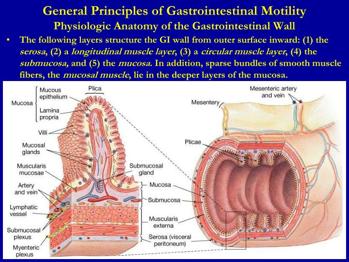 Ppt Lecture 1 Gastrointestinal Physiology Powerpoint Presentation