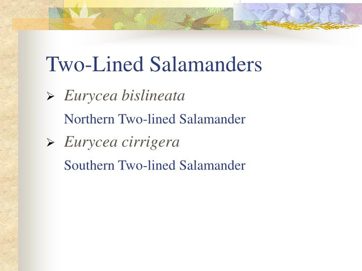 Two-Lined Salamanders