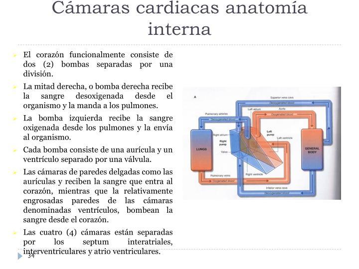 Cámaras cardiacas anatomía interna