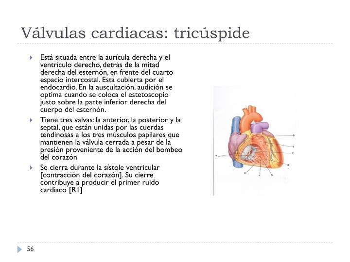 Válvulas cardiacas: tricúspide