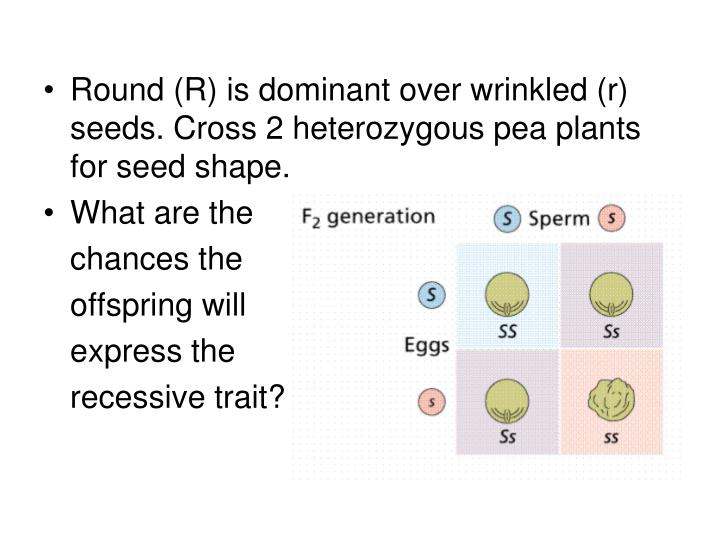 Round (R) is dominant over wrinkled (r) seeds. Cross 2 heterozygous pea plants for seed shape.