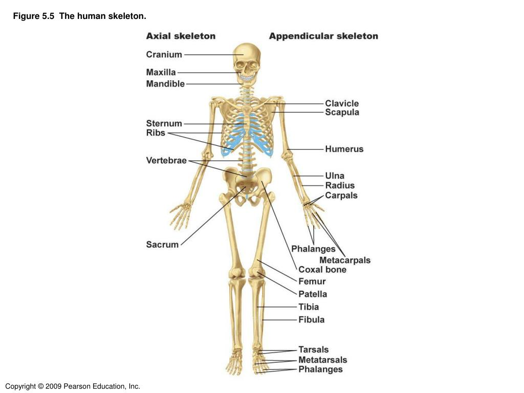 Ppt Figure 55 The Human Skeleton Powerpoint Presentation Id