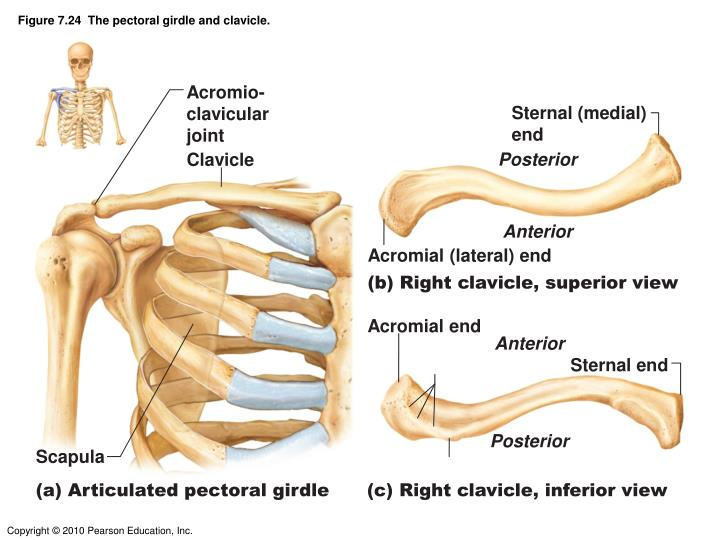 shoulder girdle bone that articulates anteriorly with the sternum