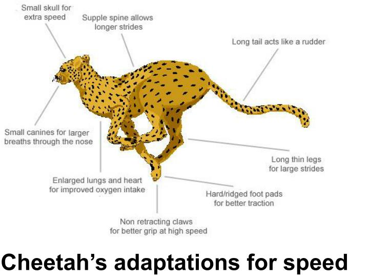 Cheetah's adaptations for speed