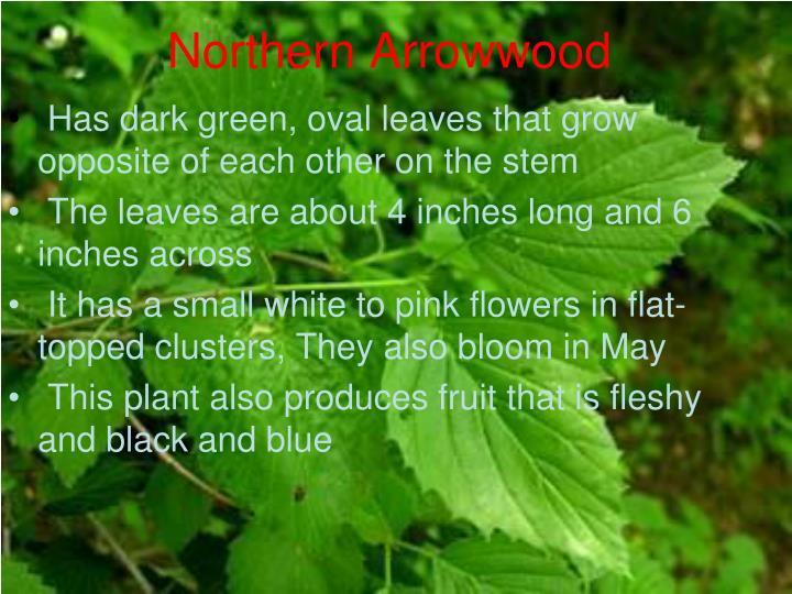 Northern Arrowwood