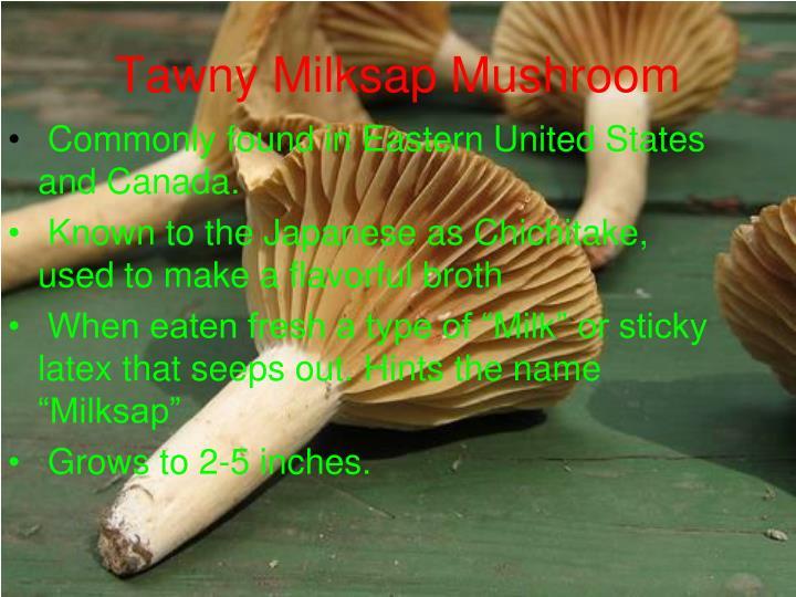 Tawny Milksap Mushroom