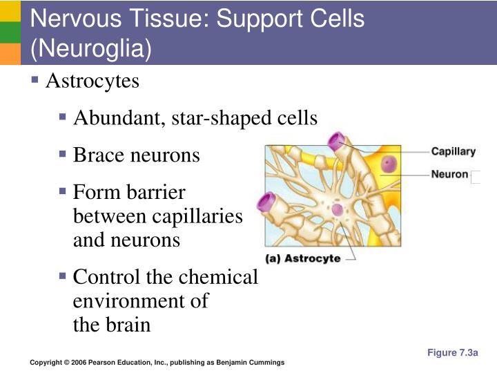 Nervous Tissue: Support Cells (Neuroglia)