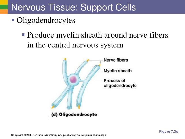Nervous Tissue: Support Cells