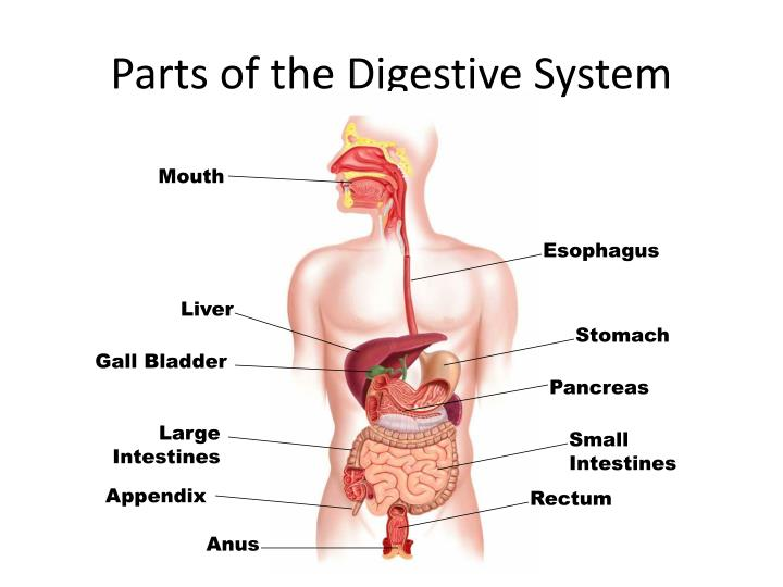 PPT - Digestive System, Mouth and Teeth Parts PowerPoint ...