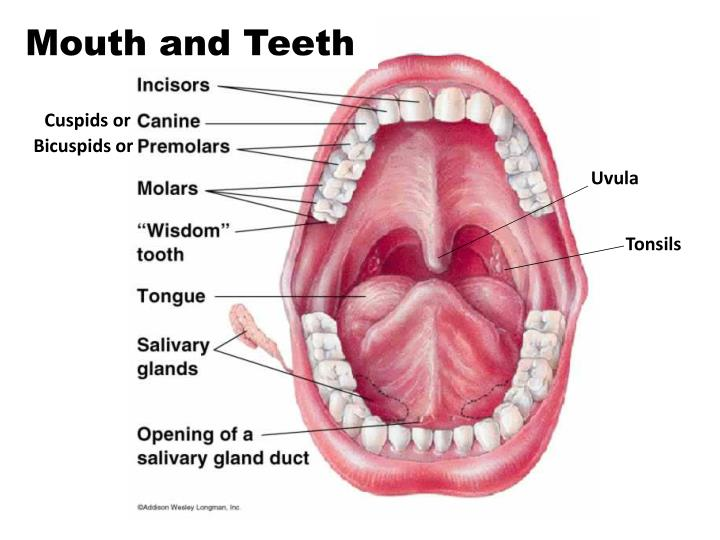 Ppt Digestive System Mouth And Teeth Parts Powerpoint