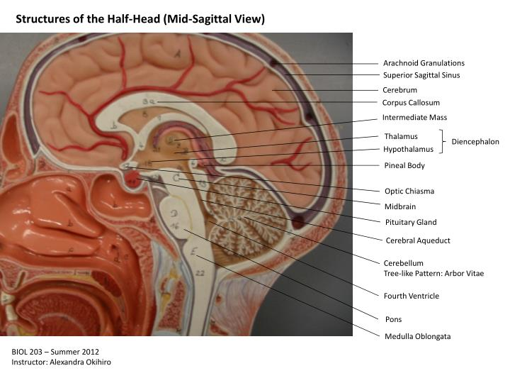 PPT - Structures of the Half-Head (Mid-Sagittal View ...