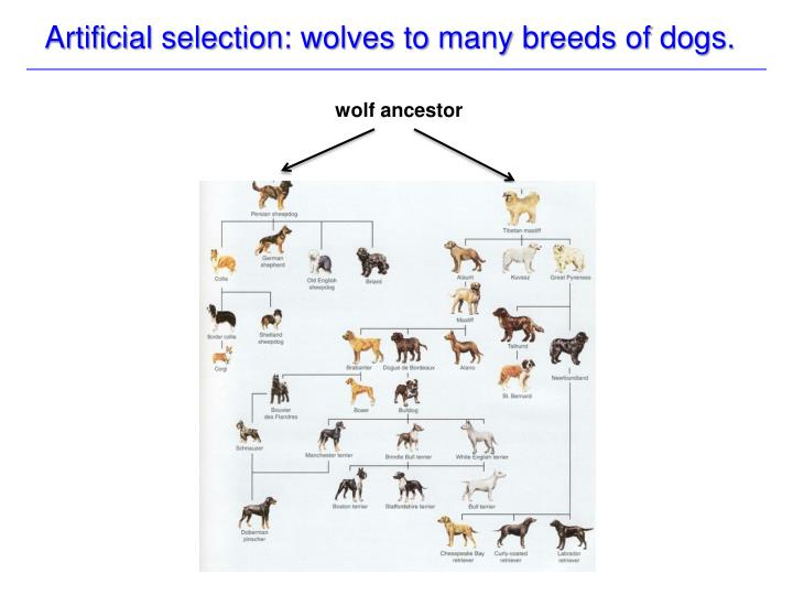 Artificial selection: wolves to many breeds of dogs.