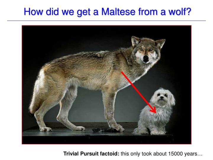 How did we get a Maltese from a wolf?