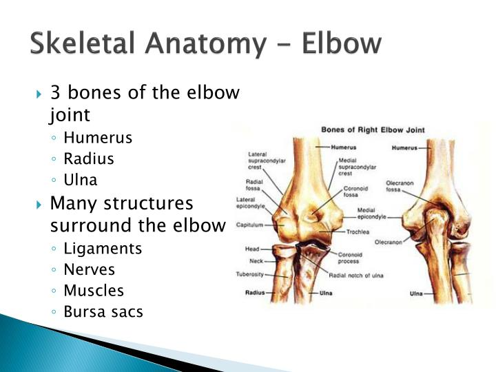 Ppt The Elbow Wrist And Hand Powerpoint Presentation Id3067717