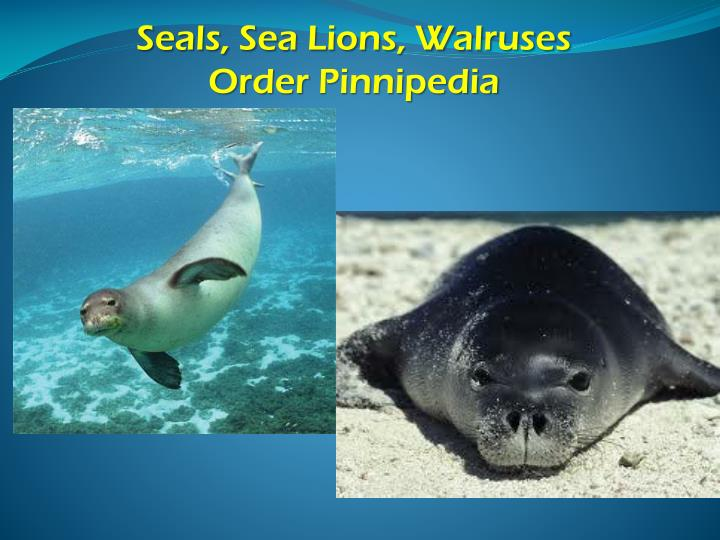 Seals, Sea Lions, Walruses