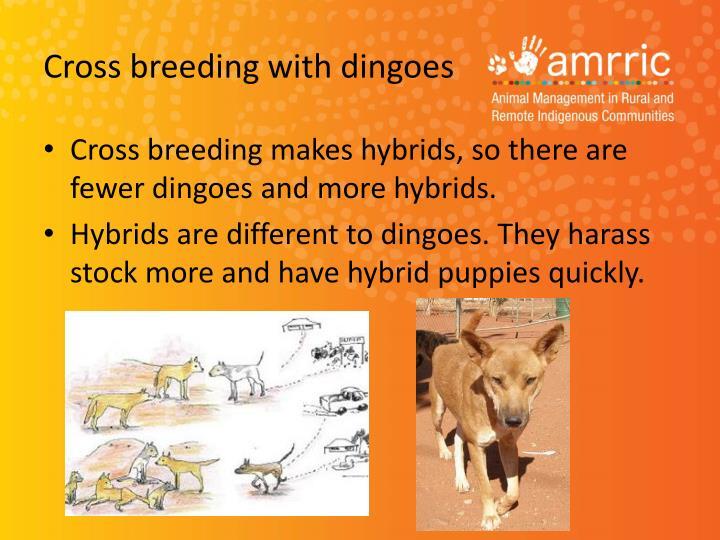 Cross breeding with dingoes