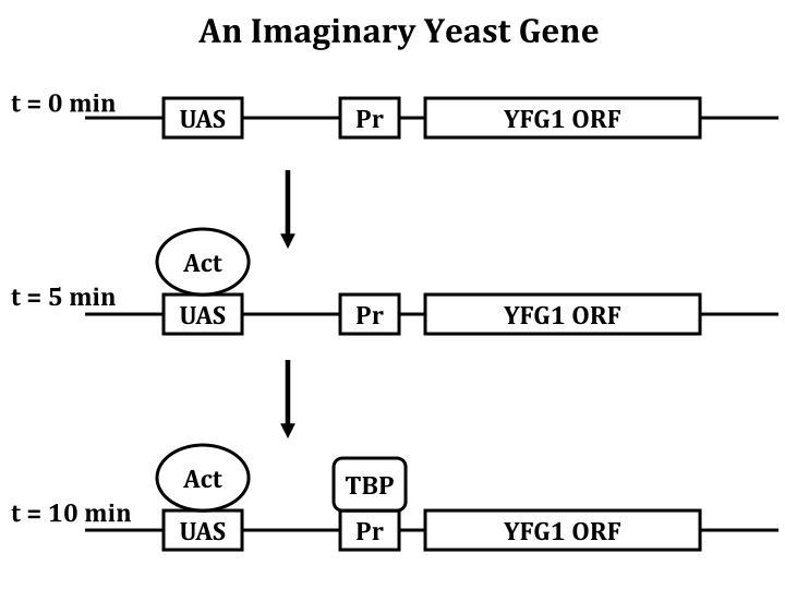 An Imaginary Yeast Gene