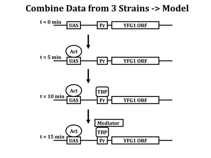 Combine Data from 3 Strains -> Model