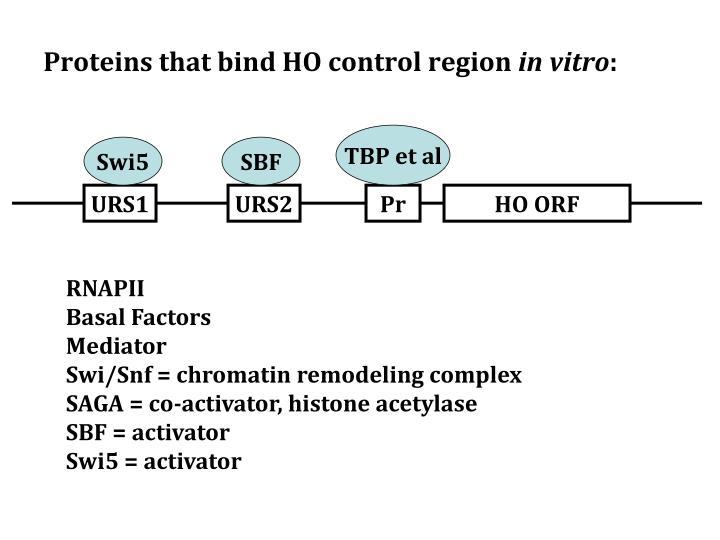 Proteins that bind HO control region