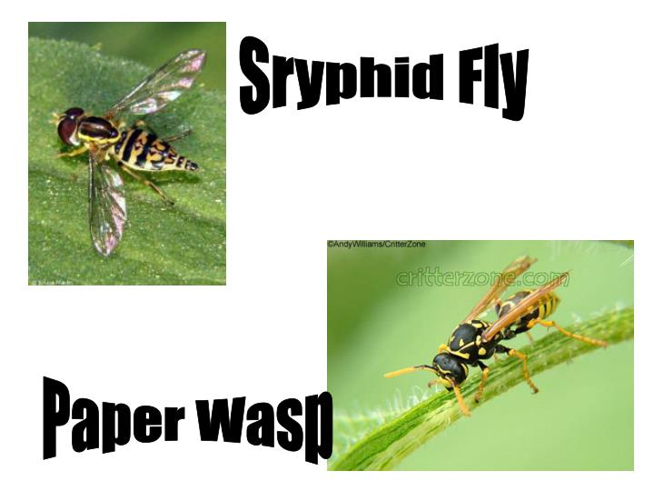 Sryphid Fly