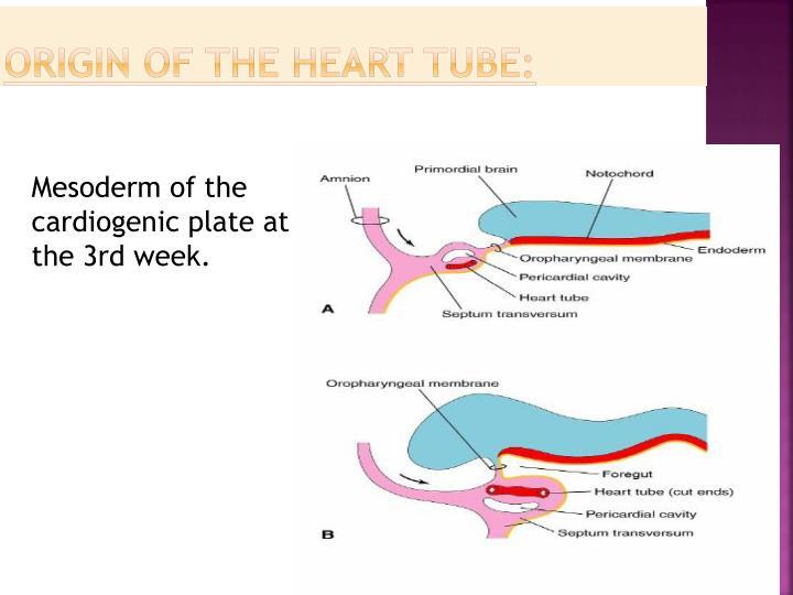 Origin of the heart tube: