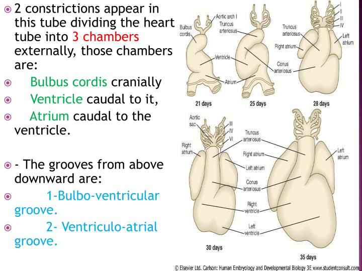 2 constrictions appear in this tube dividing the heart tube into