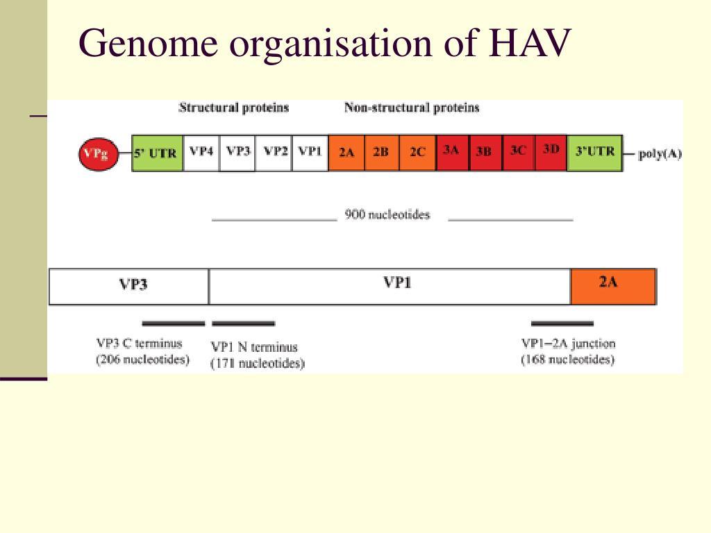PPT - Yersinia Enterocolitica PowerPoint Presentation - ID