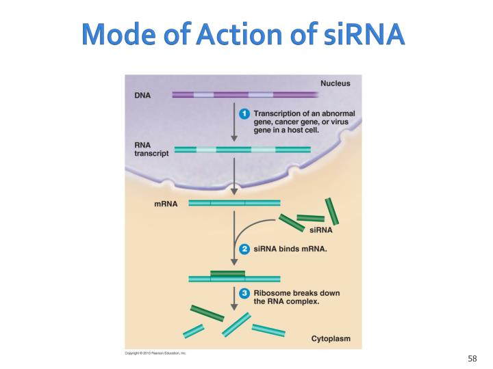 Mode of Action of siRNA