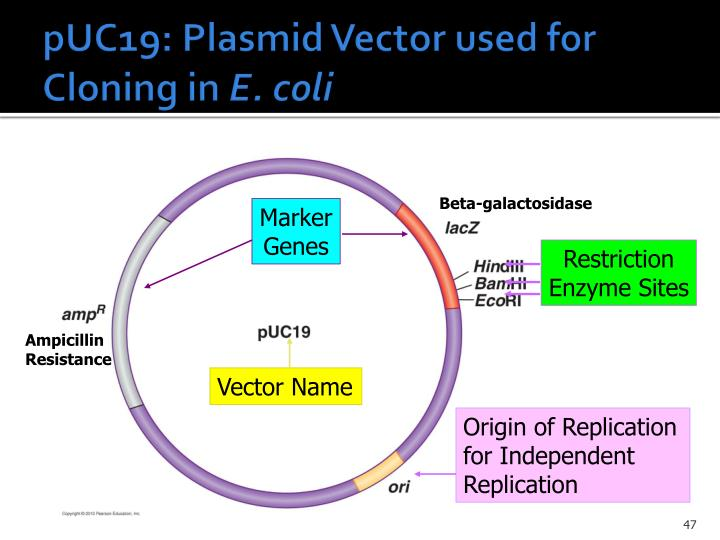 pUC19: Plasmid Vector used for Cloning in