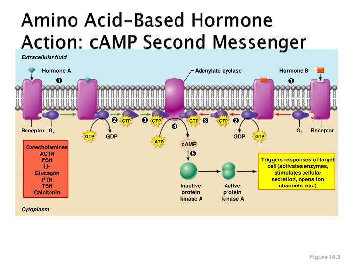 Amino Acid-Based Hormone Action: