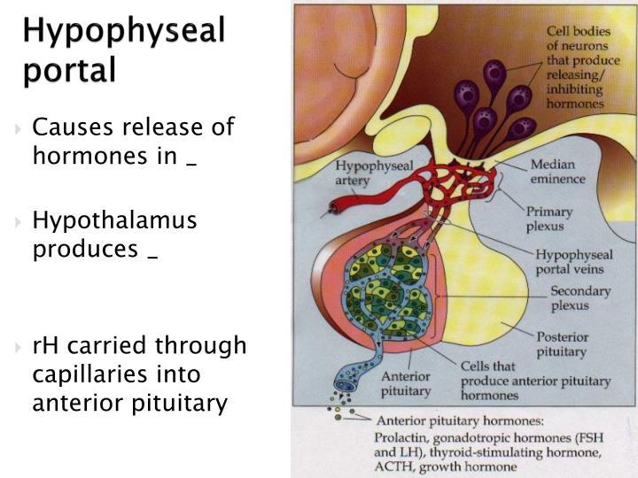 Hypophyseal portal