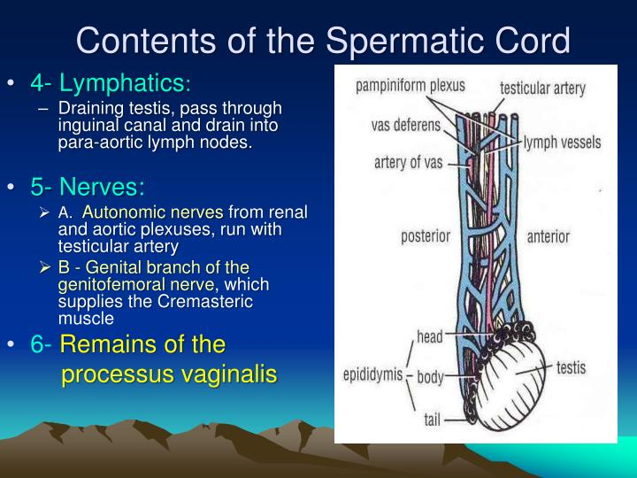 Contents of the Spermatic Cord