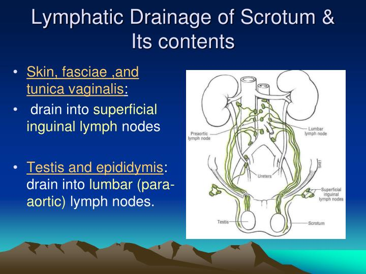 Lymphatic Drainage of Scrotum &  Its contents