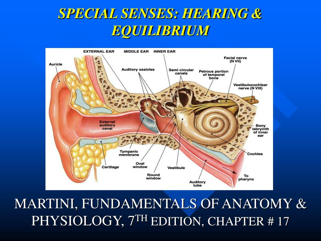 PPT - SPECIAL SENSES: HEARING & EQUILIBRIUM PowerPoint Presentation ...