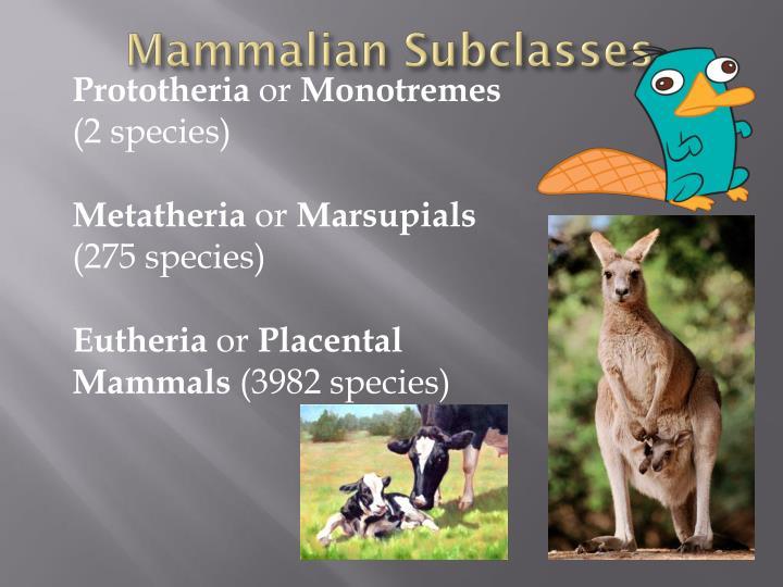 Mammalian subclasses