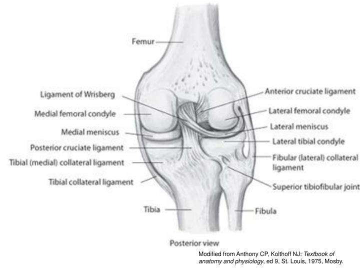PPT - The Knee Joint PowerPoint Presentation - ID:3082352