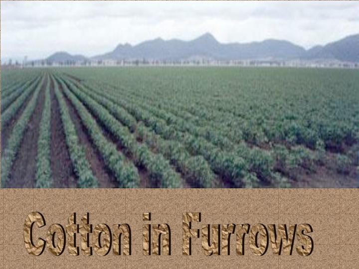 Cotton in Furrows