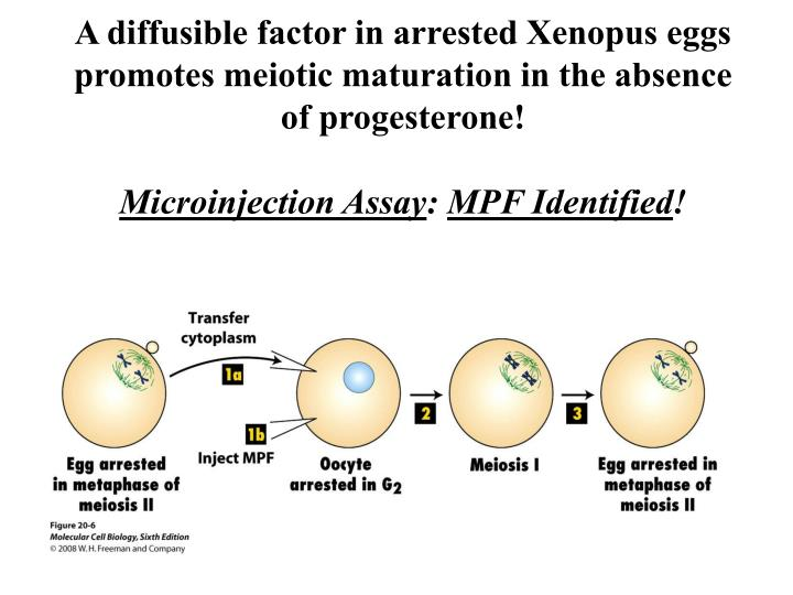 PPT - Fluorescence Micrographs of Chromatin, Keratin, and ...