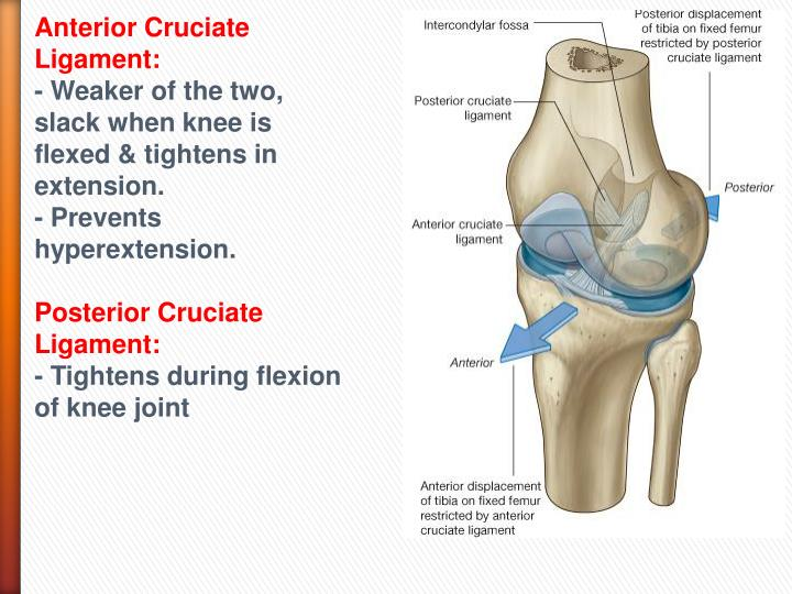 anterior cruciate ligament essay The anterior cruciate ligament (acl) is one of the two cruciate ligaments of the knee, the other being the posterior cruciate ligament (pcl) these ligaments are the stabilizers of the knee the acl is a strip of fibery tissue, which is located deep inside the knee joint.