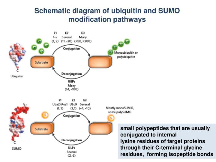 PPT - Schematic diagram of ubiquitin and SUMO modification pathways ...